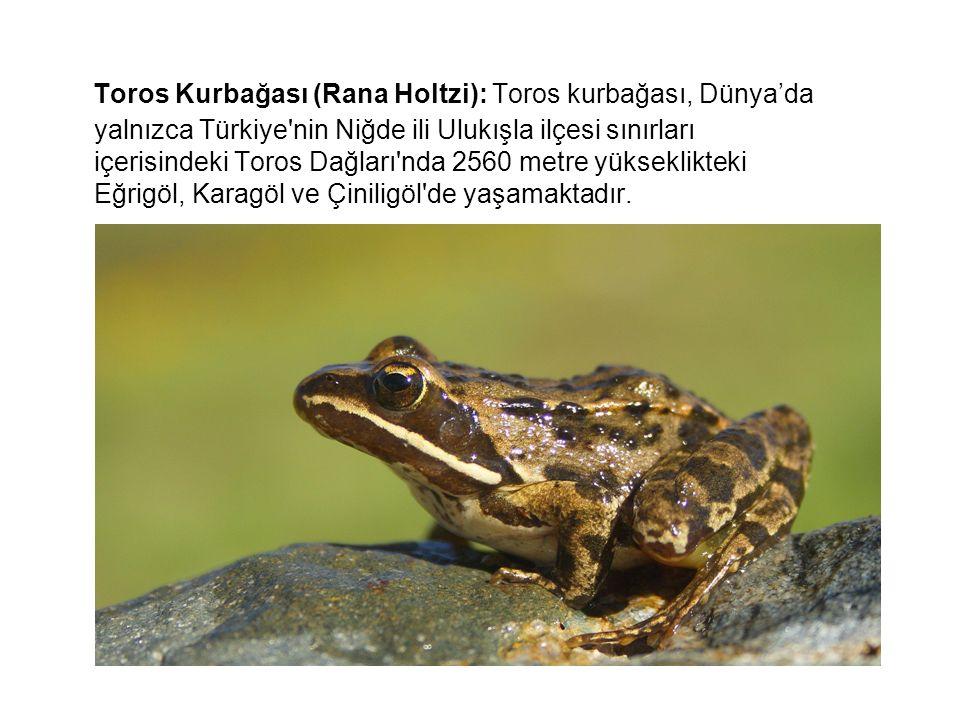 Toros Kurbağası (Rana Holtzi): Toros kurbağası, Dünya'da yalnızca Türkiye nin Niğde ili Ulukışla ilçesi sınırları içerisindeki Toros Dağları nda 2560 metre yükseklikteki Eğrigöl, Karagöl ve Çiniligöl de yaşamaktadır.