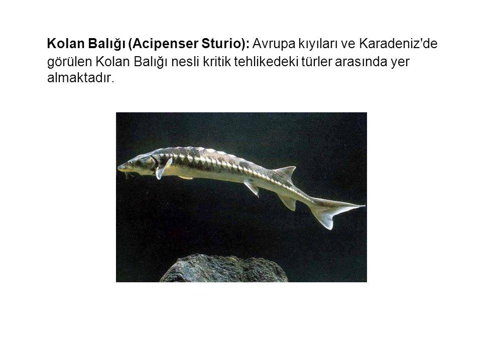 Kolan Balığı (Acipenser Sturio): Avrupa kıyıları ve Karadeniz de görülen Kolan Balığı nesli kritik tehlikedeki türler arasında yer almaktadır.
