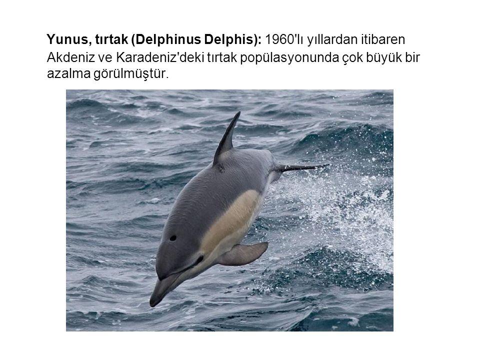 Yunus, tırtak (Delphinus Delphis): 1960 lı yıllardan itibaren Akdeniz ve Karadeniz deki tırtak popülasyonunda çok büyük bir azalma görülmüştür.