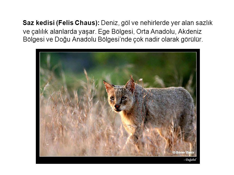 Saz kedisi (Felis Chaus): Deniz, göl ve nehirlerde yer alan sazlık ve çalılık alanlarda yaşar.