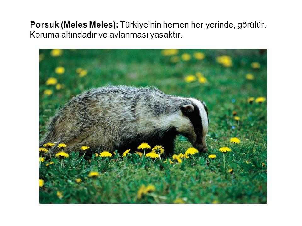 Porsuk (Meles Meles): Türkiye'nin hemen her yerinde, görülür
