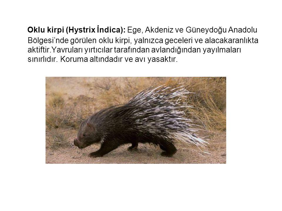 Oklu kirpi (Hystrix İndica): Ege, Akdeniz ve Güneydoğu Anadolu Bölgesi'nde görülen oklu kirpi, yalnızca geceleri ve alacakaranlıkta aktiftir.Yavruları yırtıcılar tarafından avlandığından yayılmaları sınırlıdır.