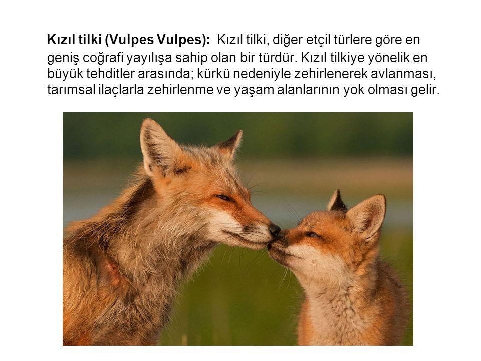 Kızıl tilki (Vulpes Vulpes): Kızıl tilki, diğer etçil türlere göre en geniş coğrafi yayılışa sahip olan bir türdür.