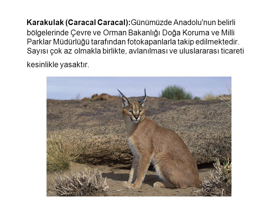 Karakulak (Caracal Caracal):Günümüzde Anadolu nun belirli bölgelerinde Çevre ve Orman Bakanlığı Doğa Koruma ve Milli Parklar Müdürlüğü tarafından fotokapanlarla takip edilmektedir.