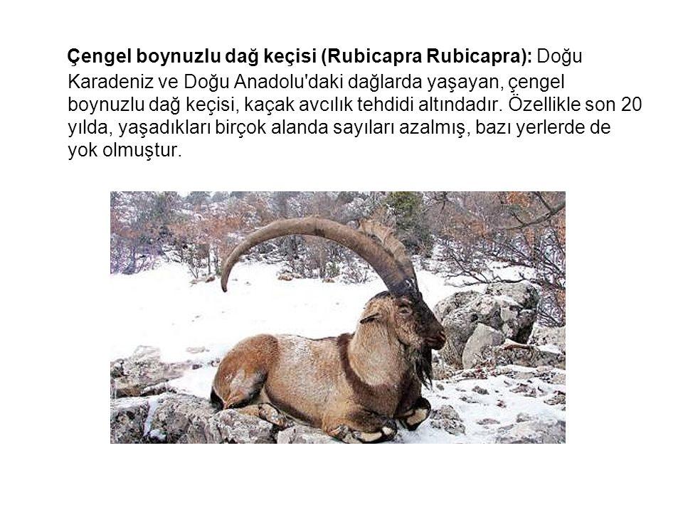 Çengel boynuzlu dağ keçisi (Rubicapra Rubicapra): Doğu Karadeniz ve Doğu Anadolu daki dağlarda yaşayan, çengel boynuzlu dağ keçisi, kaçak avcılık tehdidi altındadır. Özellikle son 20 yılda, yaşadıkları birçok alanda sayıları azalmış, bazı yerlerde de yok olmuştur.