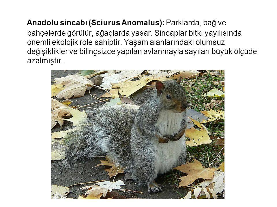 Anadolu sincabı (Sciurus Anomalus): Parklarda, bağ ve bahçelerde görülür, ağaçlarda yaşar.