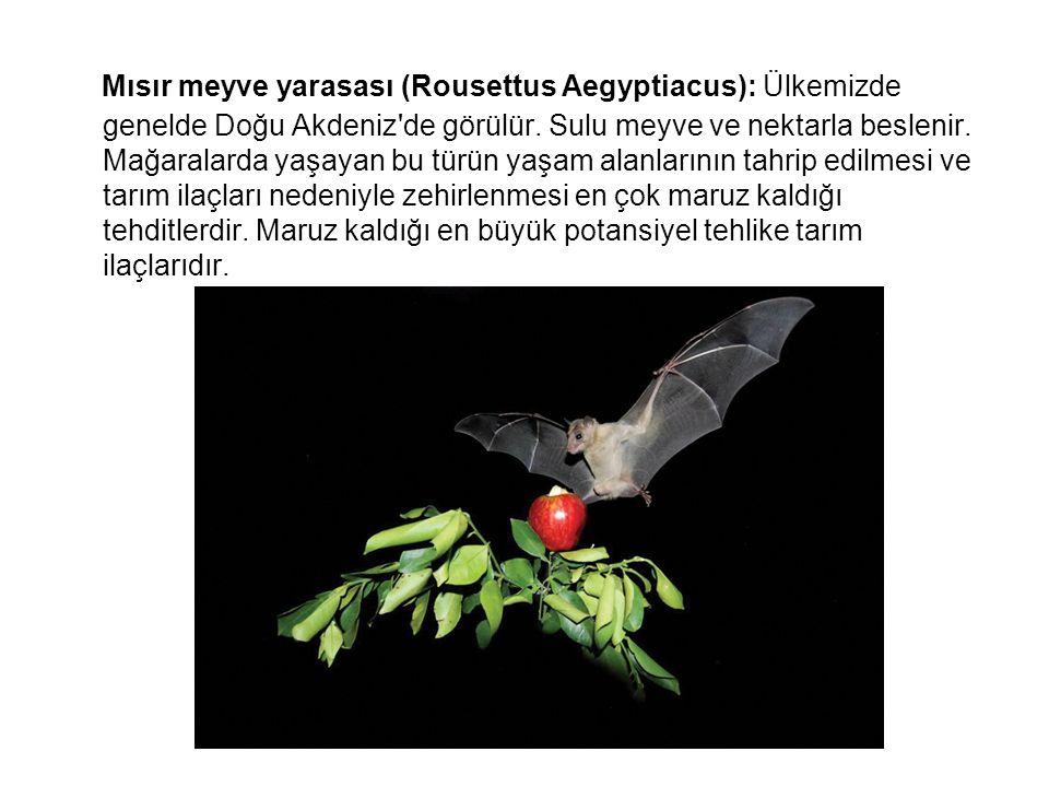 Mısır meyve yarasası (Rousettus Aegyptiacus): Ülkemizde genelde Doğu Akdeniz de görülür.