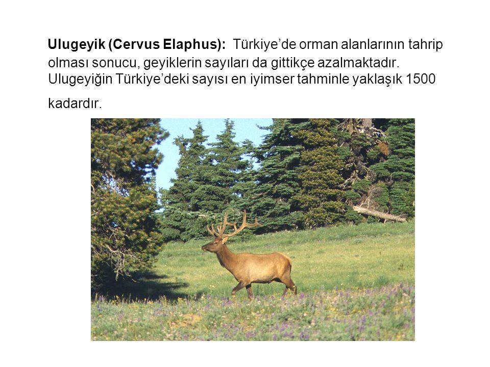 Ulugeyik (Cervus Elaphus): Türkiye'de orman alanlarının tahrip olması sonucu, geyiklerin sayıları da gittikçe azalmaktadır.