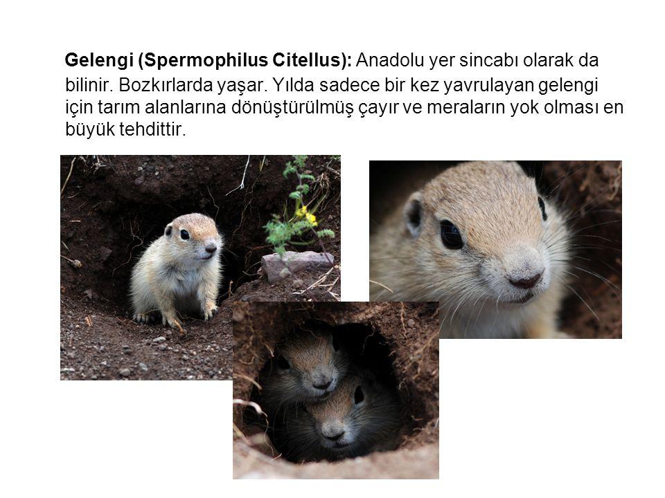 Gelengi (Spermophilus Citellus): Anadolu yer sincabı olarak da bilinir