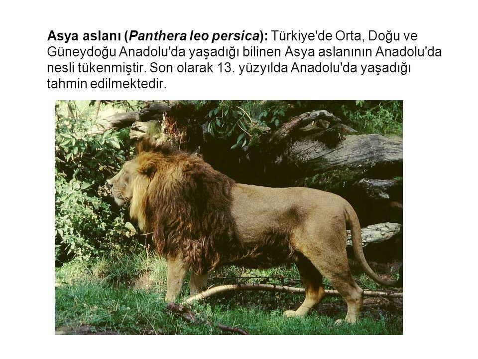 Asya aslanı (Panthera leo persica): Türkiye de Orta, Doğu ve Güneydoğu Anadolu da yaşadığı bilinen Asya aslanının Anadolu da nesli tükenmiştir.