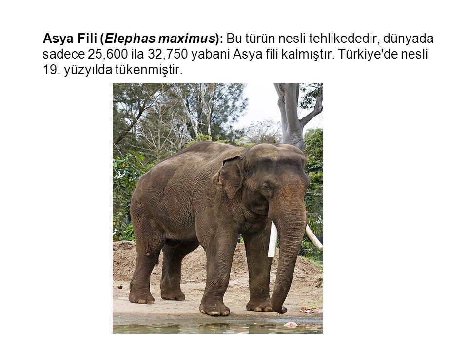 Asya Fili (Elephas maximus): Bu türün nesli tehlikededir, dünyada sadece 25,600 ila 32,750 yabani Asya fili kalmıştır.