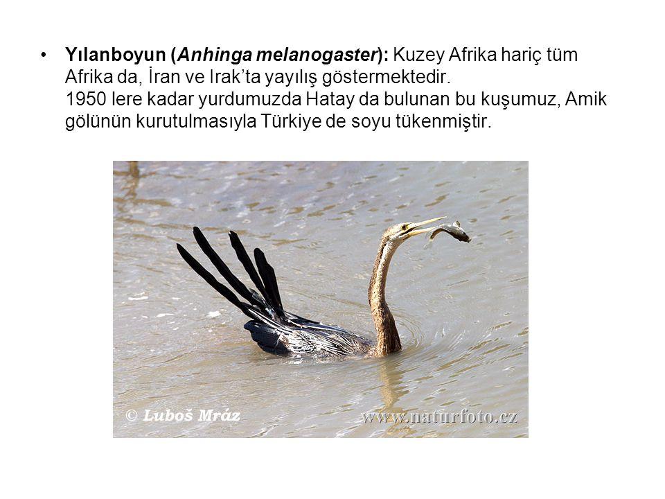 Yılanboyun (Anhinga melanogaster): Kuzey Afrika hariç tüm Afrika da, İran ve Irak'ta yayılış göstermektedir. 1950 lere kadar yurdumuzda Hatay da bulunan bu kuşumuz, Amik gölünün kurutulmasıyla Türkiye de soyu tükenmiştir.