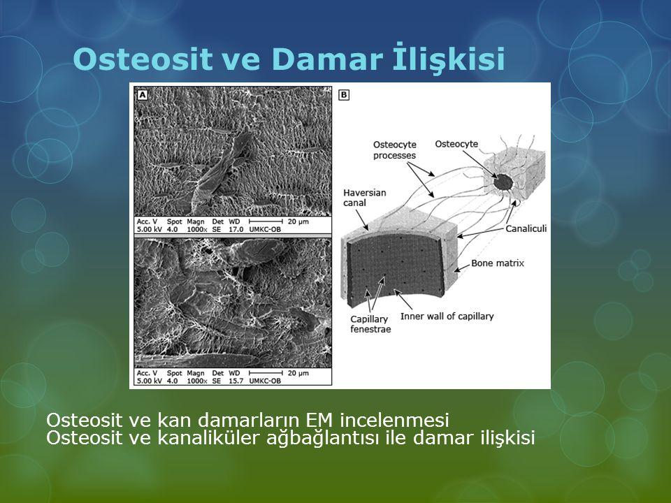 Osteosit ve Damar İlişkisi