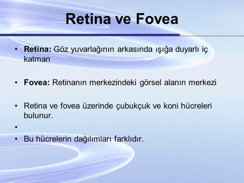 Retina ve Fovea Retina: Göz yuvarlağının arkasında ışığa duyarlı iç katman. Fovea: Retinanın merkezindeki görsel alanın merkezi.
