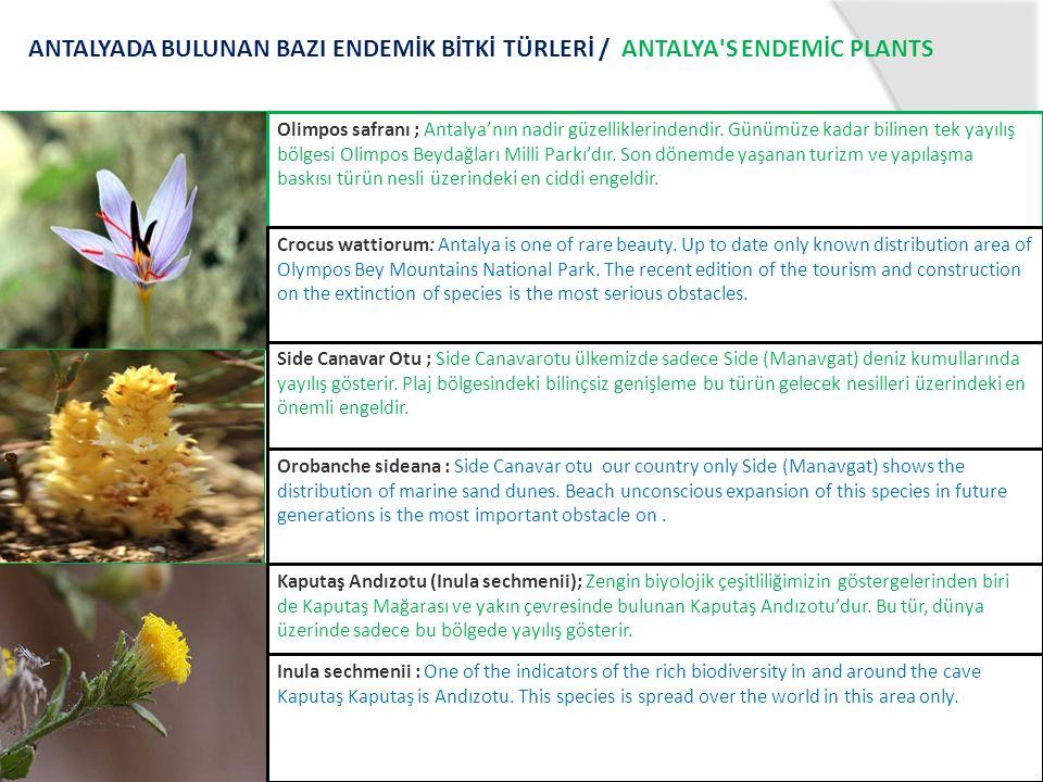 ANTALYADA BULUNAN BAZI ENDEMİK BİTKİ TÜRLERİ / ANTALYA S ENDEMİC PLANTS