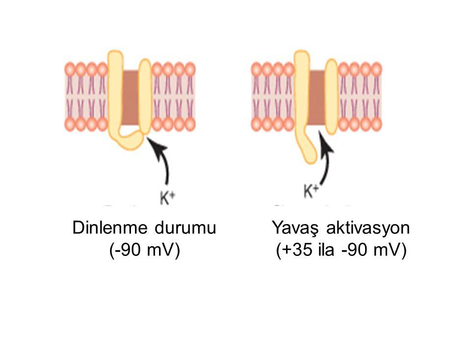 Yavaş aktivasyon (+35 ila -90 mV)