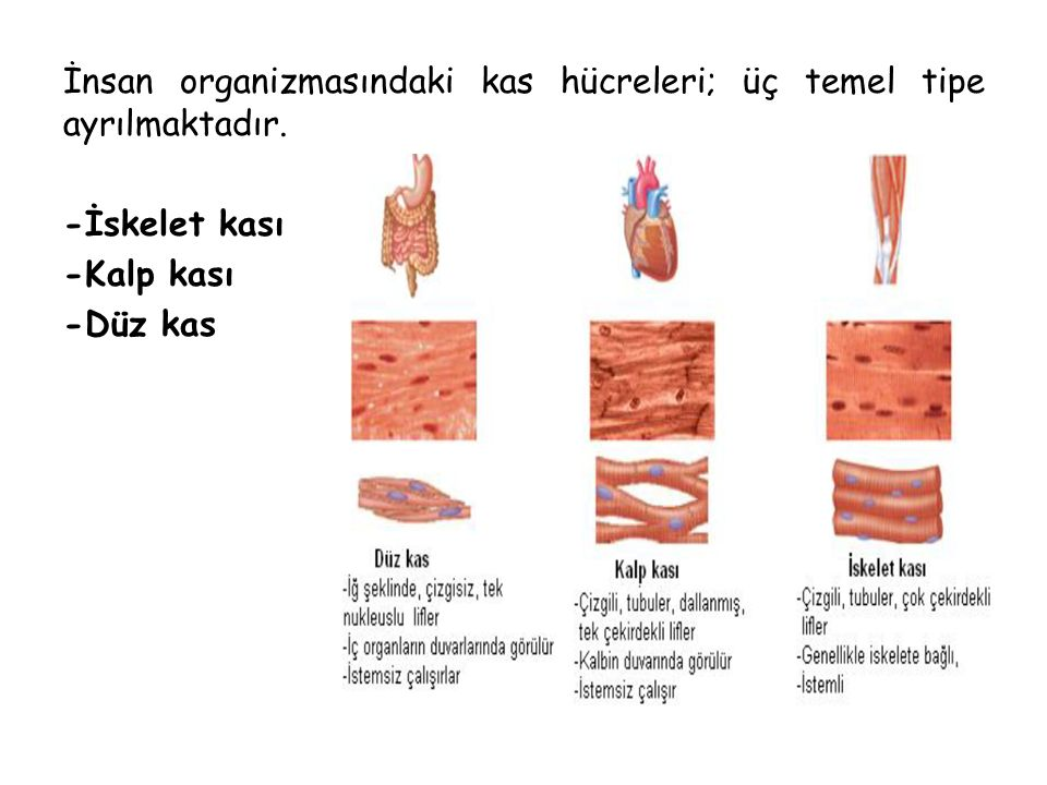 İnsan organizmasındaki kas hücreleri; üç temel tipe ayrılmaktadır