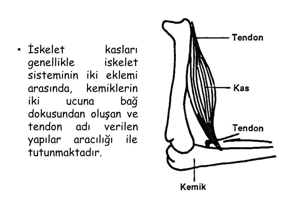 İskelet kasları genellikle iskelet sisteminin iki eklemi arasında, kemiklerin iki ucuna bağ dokusundan oluşan ve tendon adı verilen yapılar aracılığı ile tutunmaktadır.