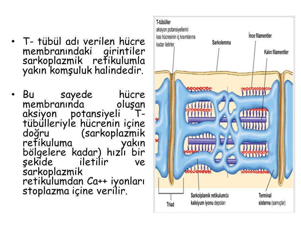 T- tübül adı verilen hücre membranındaki girintiler sarkoplazmik retikulumla yakın komşuluk halindedir.