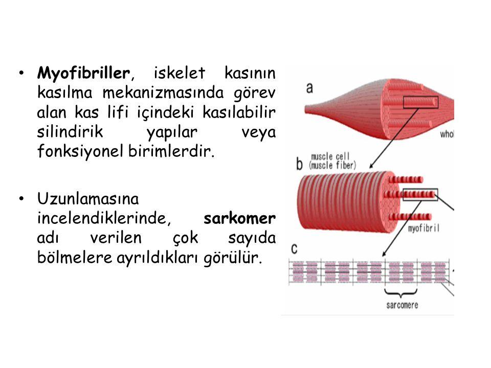 Myofibriller, iskelet kasının kasılma mekanizmasında görev alan kas lifi içindeki kasılabilir silindirik yapılar veya fonksiyonel birimlerdir.