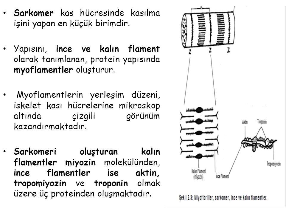 Sarkomer kas hücresinde kasılma işini yapan en küçük birimdir.