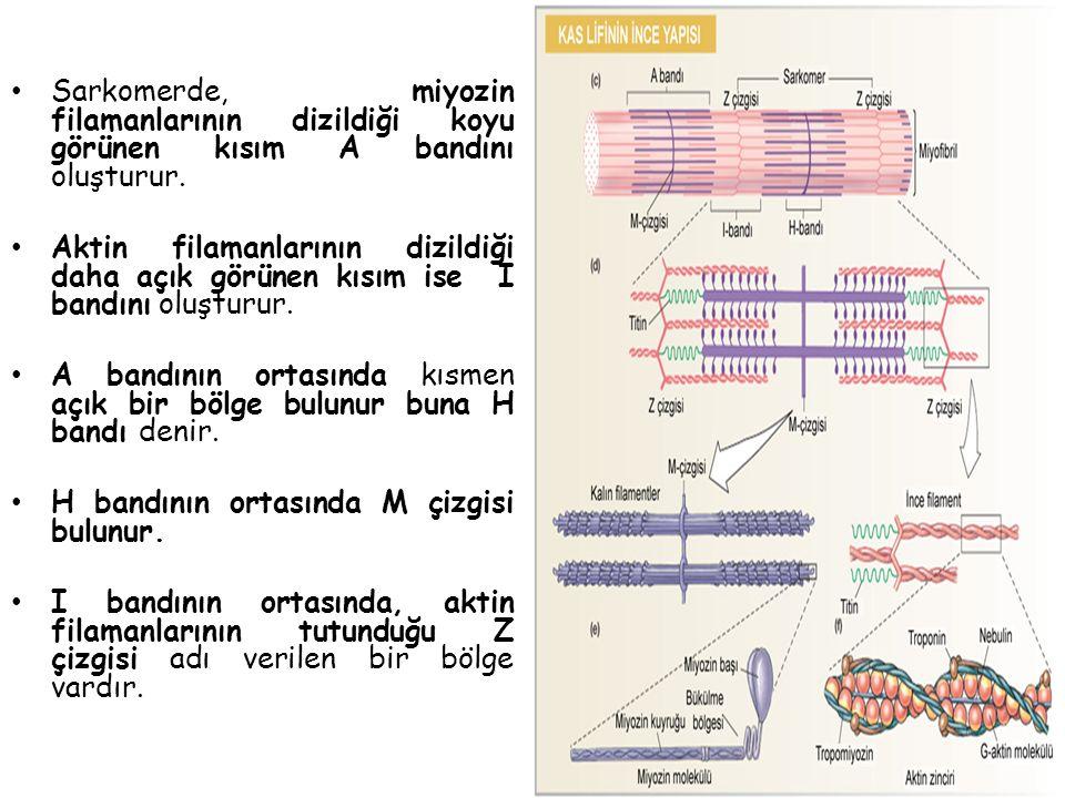 Sarkomerde, miyozin filamanlarının dizildiği koyu görünen kısım A bandını oluşturur.