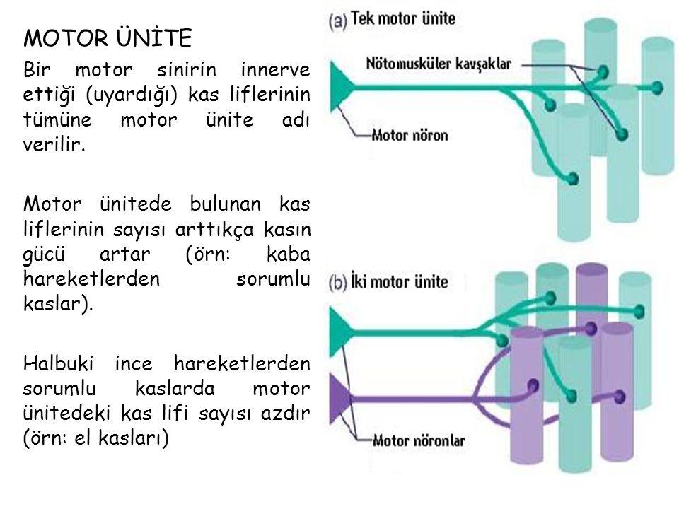MOTOR ÜNİTE Bir motor sinirin innerve ettiği (uyardığı) kas liflerinin tümüne motor ünite adı verilir.