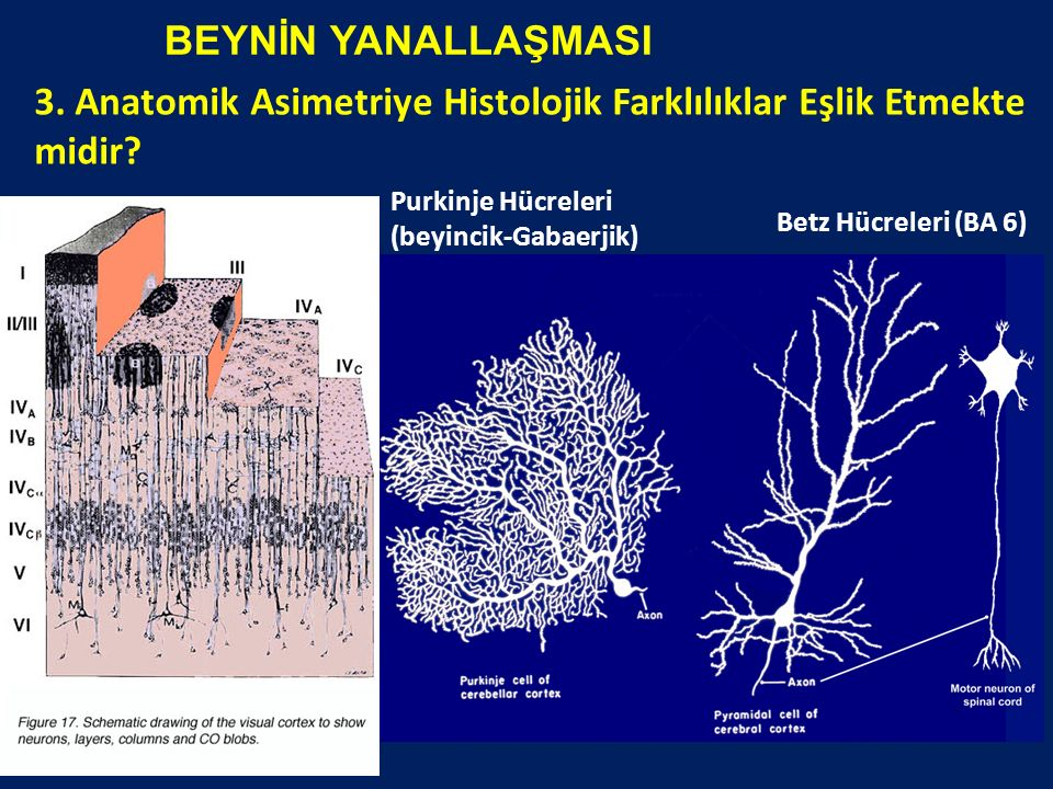 3. Anatomik Asimetriye Histolojik Farklılıklar Eşlik Etmekte midir