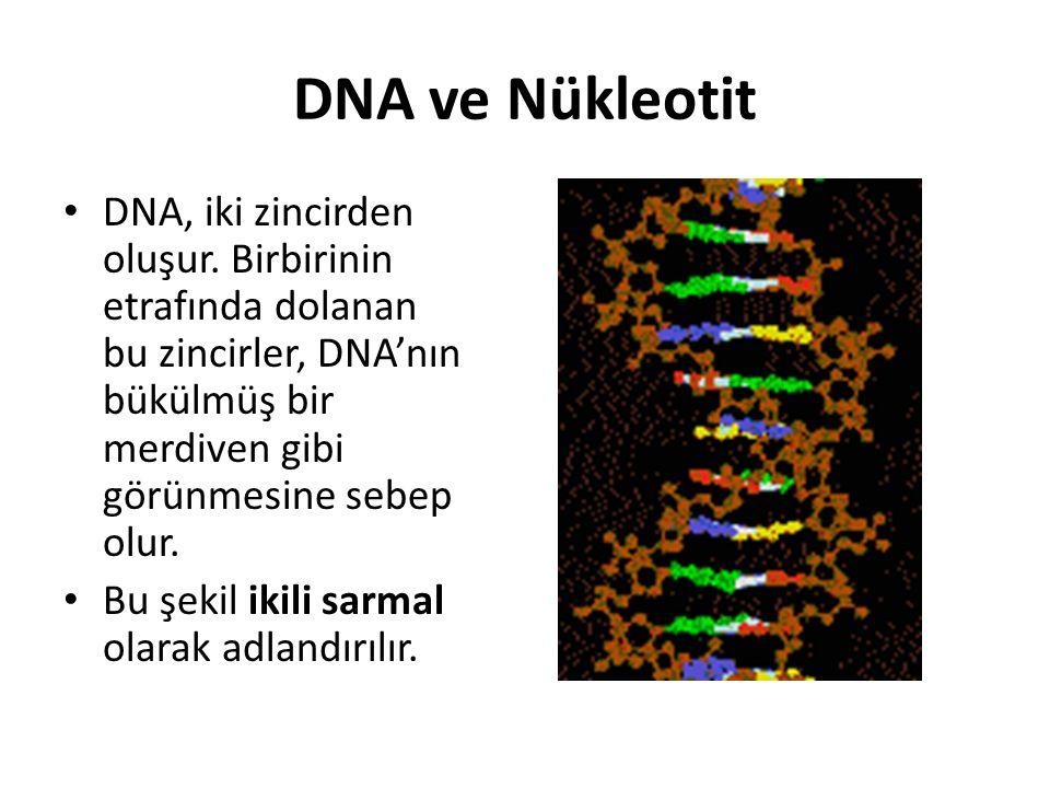 DNA ve Nükleotit DNA, iki zincirden oluşur. Birbirinin etrafında dolanan bu zincirler, DNA'nın bükülmüş bir merdiven gibi görünmesine sebep olur.