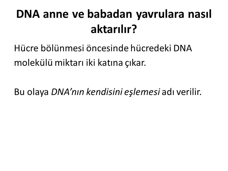 DNA anne ve babadan yavrulara nasıl aktarılır