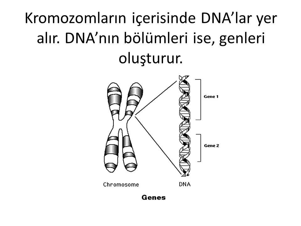Kromozomların içerisinde DNA'lar yer alır
