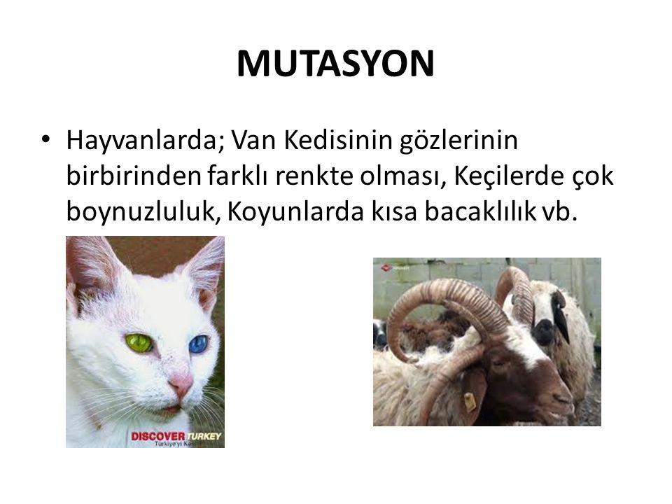 MUTASYON Hayvanlarda; Van Kedisinin gözlerinin birbirinden farklı renkte olması, Keçilerde çok boynuzluluk, Koyunlarda kısa bacaklılık vb.