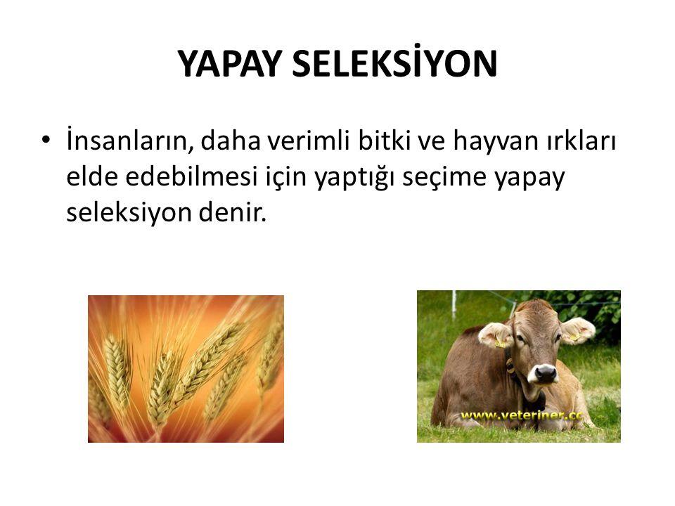 YAPAY SELEKSİYON İnsanların, daha verimli bitki ve hayvan ırkları elde edebilmesi için yaptığı seçime yapay seleksiyon denir.