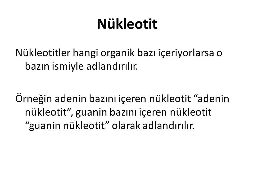 Nükleotit Nükleotitler hangi organik bazı içeriyorlarsa o bazın ismiyle adlandırılır.