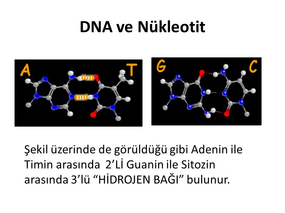 DNA ve Nükleotit Şekil üzerinde de görüldüğü gibi Adenin ile Timin arasında 2'Lİ Guanin ile Sitozin arasında 3'lü HİDROJEN BAĞI bulunur.