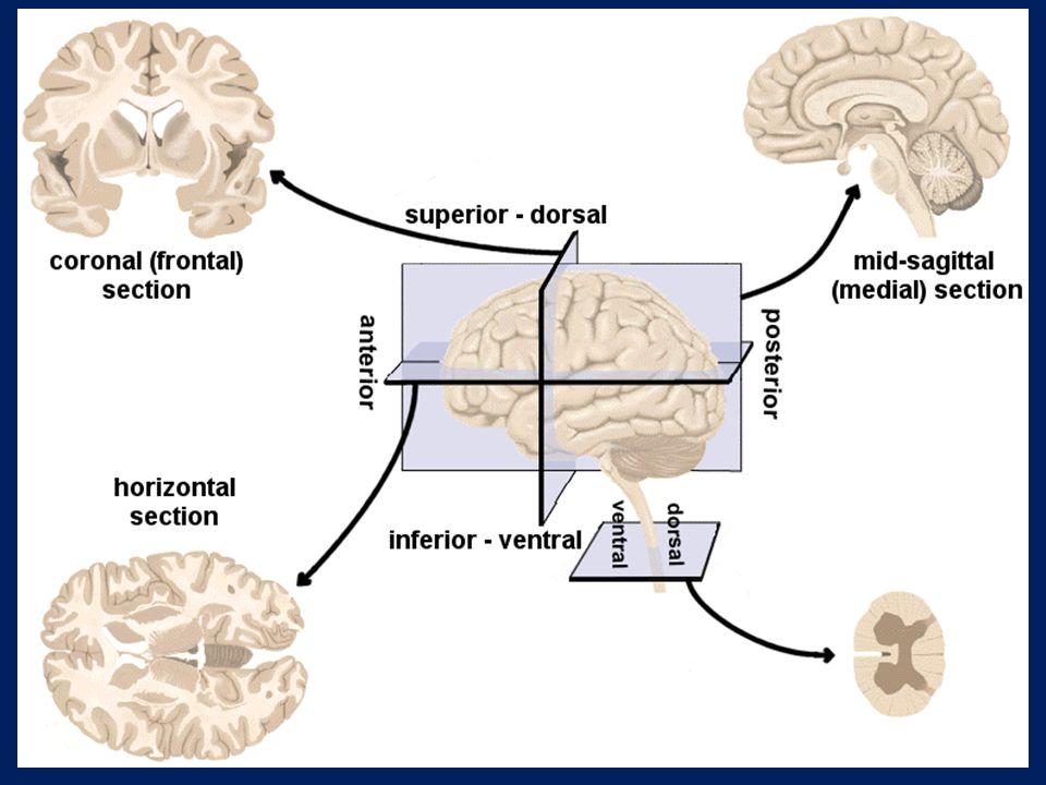 İnter hemispheric fissure