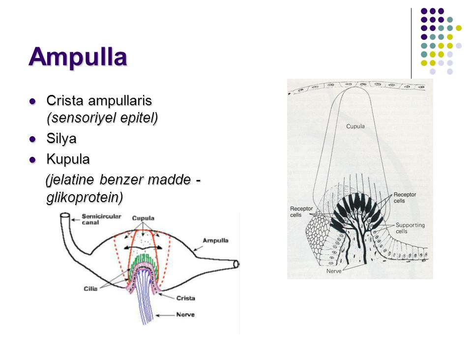 Ampulla Crista ampullaris (sensoriyel epitel) Silya Kupula