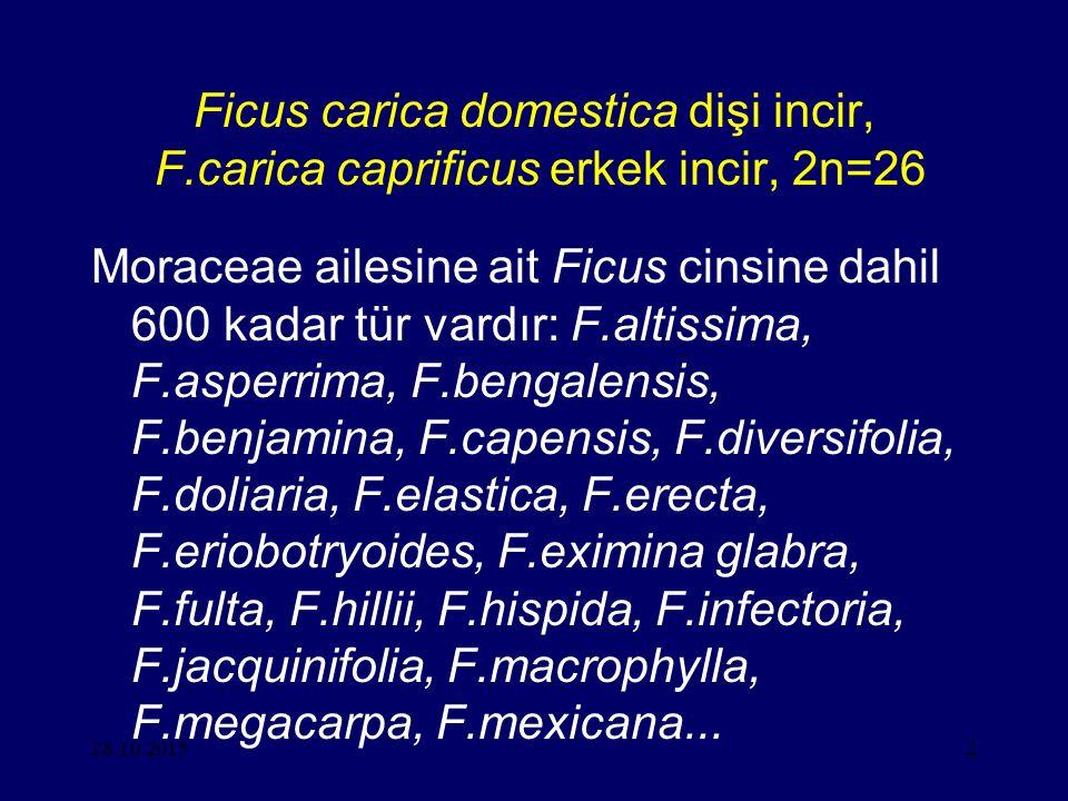 Ficus carica domestica dişi incir, F