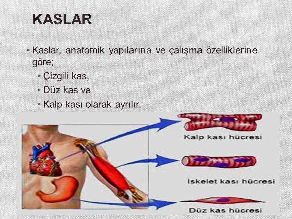 KASLAR Kaslar, anatomik yapılarına ve çalışma özelliklerine göre;