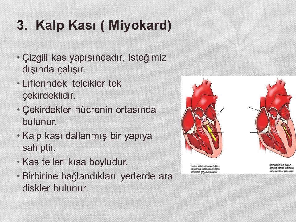 3. Kalp Kası ( Miyokard) Çizgili kas yapısındadır, isteğimiz dışında çalışır. Liflerindeki telcikler tek çekirdeklidir.
