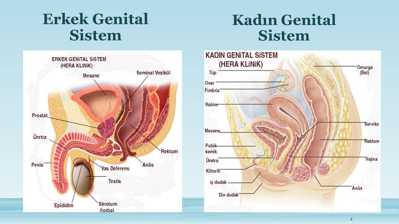 Erkek Genital Sistem Kadın Genital Sistem
