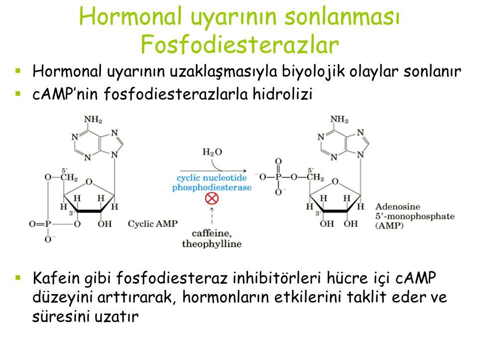 Hormonal uyarının sonlanması Fosfodiesterazlar