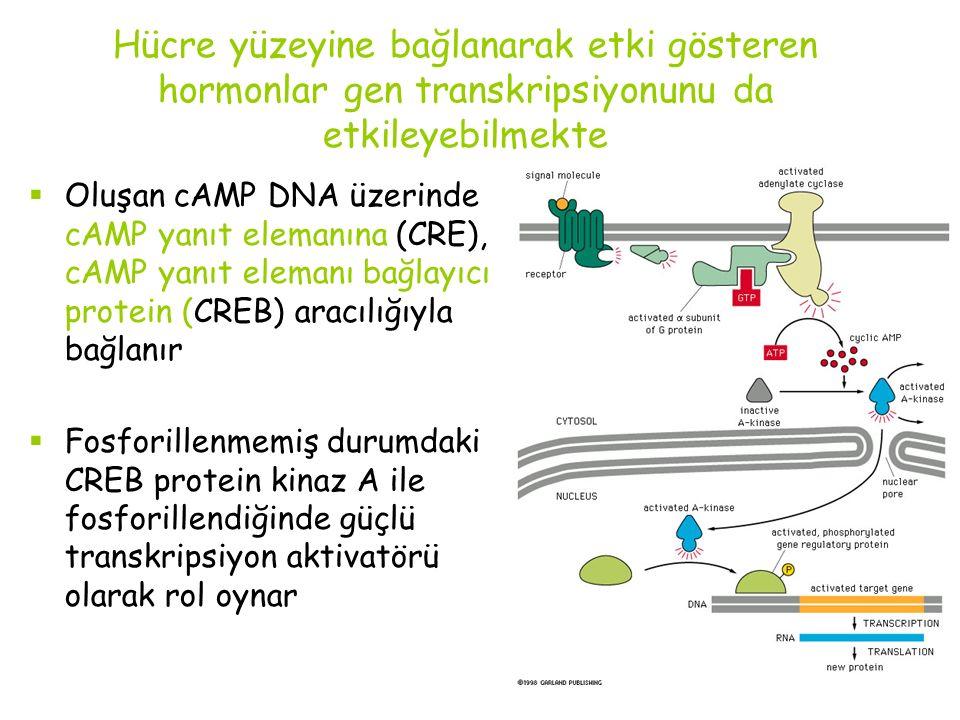 Hücre yüzeyine bağlanarak etki gösteren hormonlar gen transkripsiyonunu da etkileyebilmekte