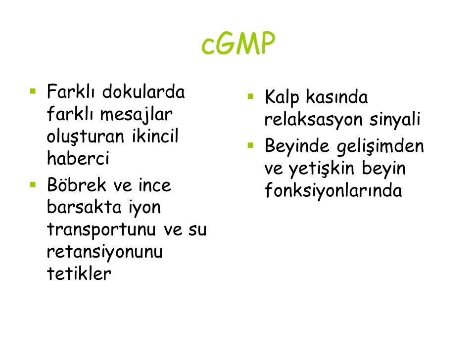 cGMP Farklı dokularda farklı mesajlar oluşturan ikincil haberci