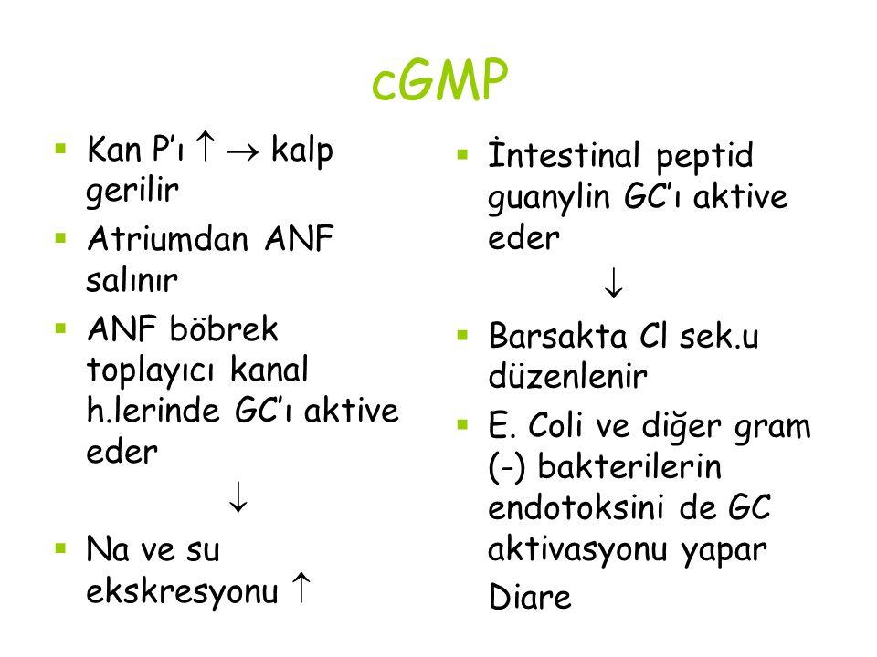 cGMP Kan P'ı   kalp gerilir