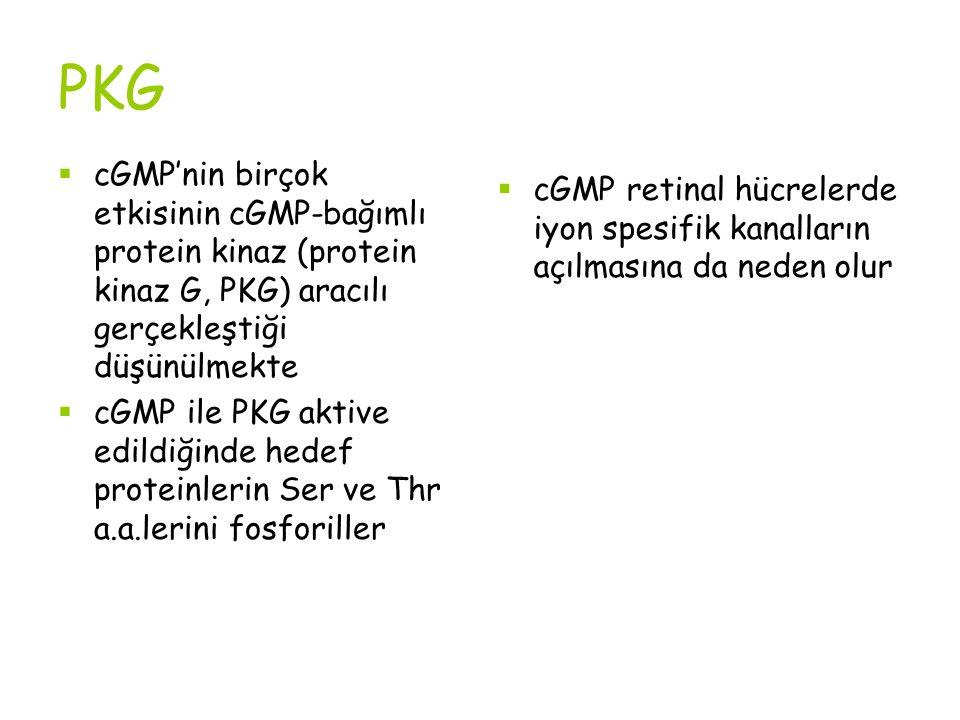 PKG cGMP'nin birçok etkisinin cGMP-bağımlı protein kinaz (protein kinaz G, PKG) aracılı gerçekleştiği düşünülmekte.