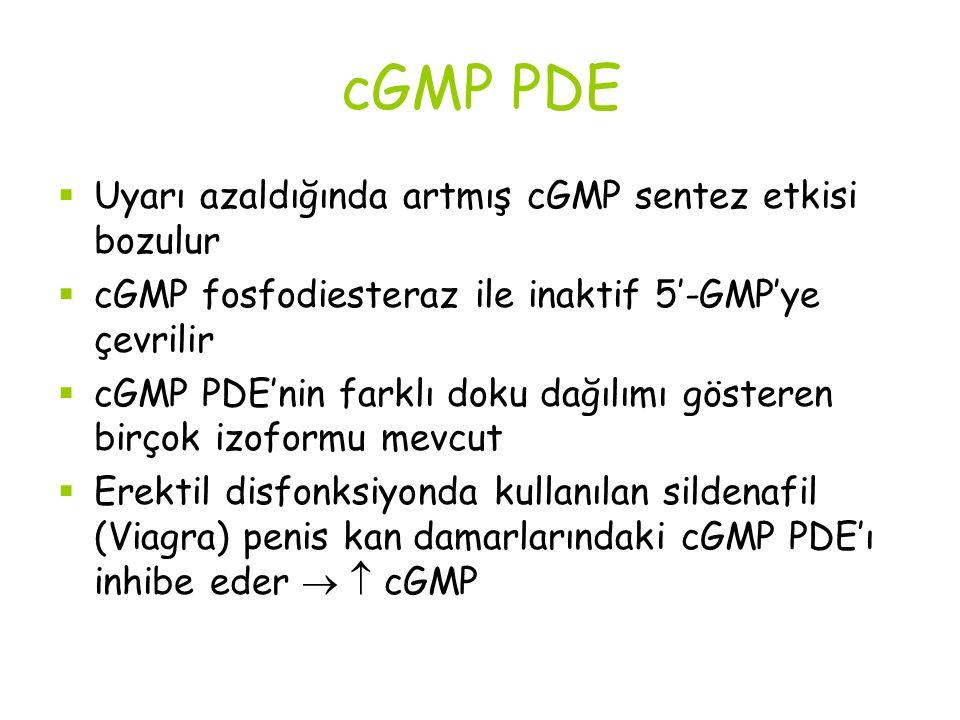 cGMP PDE Uyarı azaldığında artmış cGMP sentez etkisi bozulur
