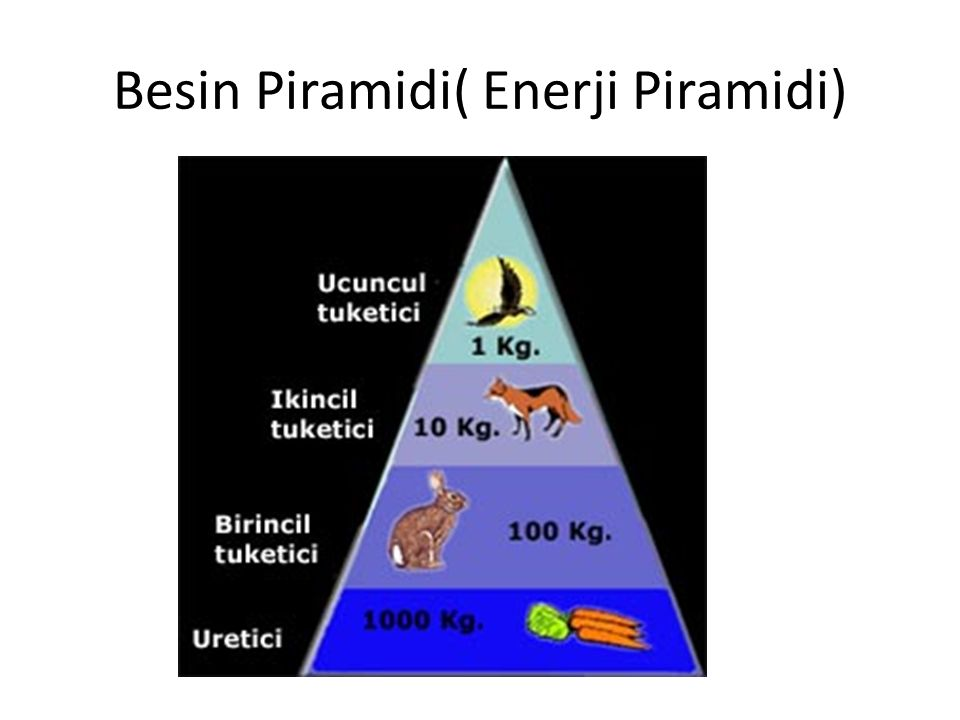 Besin Piramidi( Enerji Piramidi)