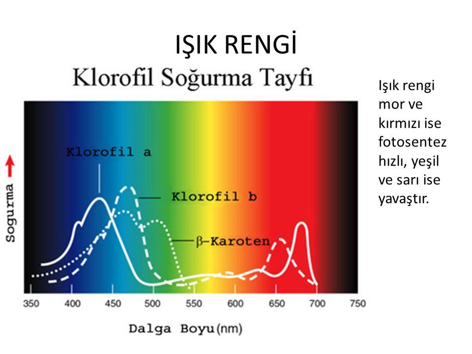 IŞIK RENGİ Işık rengi mor ve kırmızı ise fotosentez hızlı, yeşil ve sarı ise yavaştır.