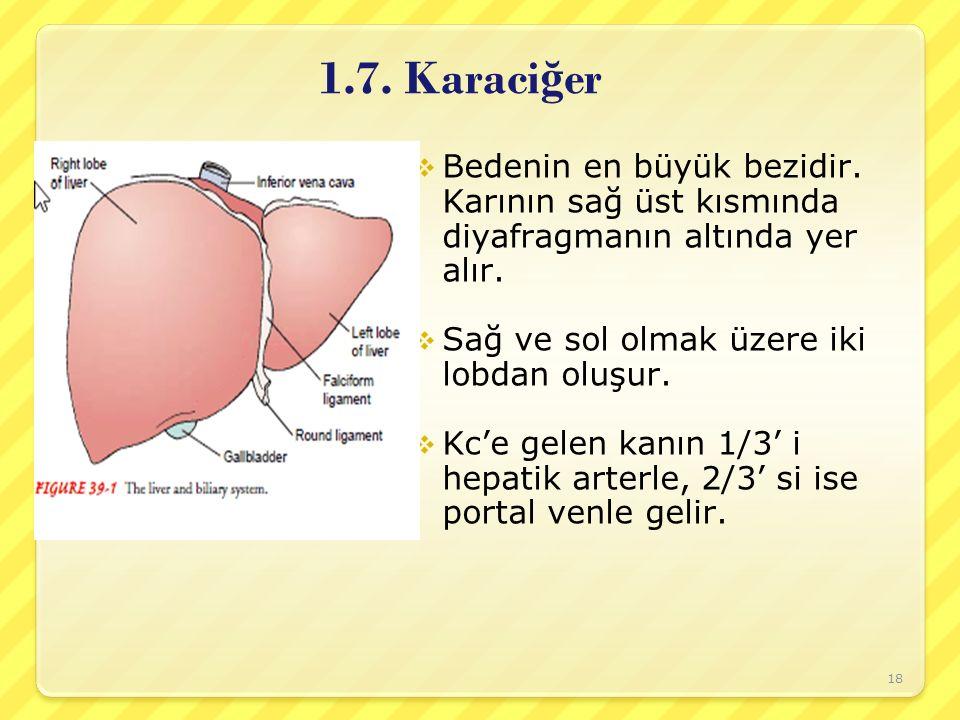 1.7. Karaciğer Bedenin en büyük bezidir. Karının sağ üst kısmında diyafragmanın altında yer alır. Sağ ve sol olmak üzere iki lobdan oluşur.